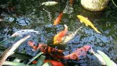 The Koi of Constant Distraction