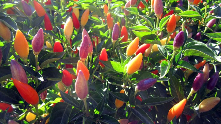 """They look like Christmas lights!"" Ornamental peppers: they're a real thing."