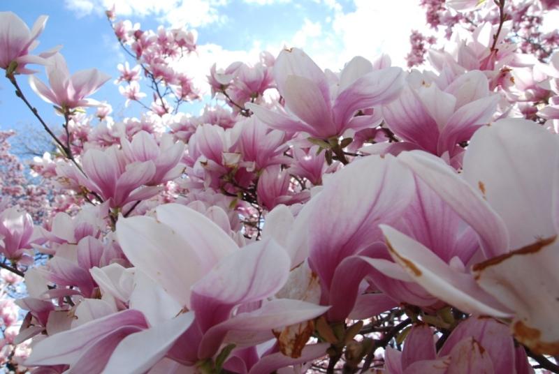 Magnolias, Prospect Park